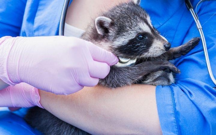 female vet tech examining a baby raccoon